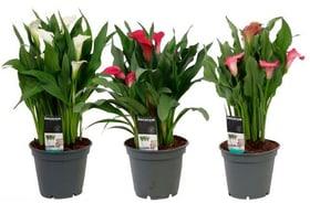 Kalla Zantedeschia (3er Set) Ø17cm Blühpflanze 650367600000 Bild Nr. 1