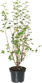 Groseillier à fleurs King Edward 5 l