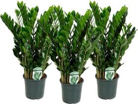 Gemma di Zanzibar Zamioculcas (set di 3 piante) Ø17cm Pianta verde 650335000000 N. figura 1