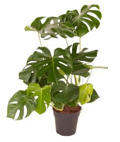Philodendron Monstera Deliciosa Ø24cm Plante à feuilles décoratives 650334700000 Photo no. 1