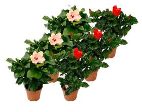 Ibisco in mix di colori (set di 6) Ø13cm Pianta da fiore mediterranea 650166300000 N. figura 1