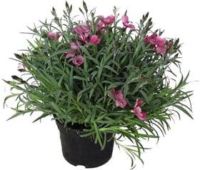 Dianthus 14cm