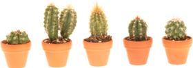 Assortiment de mini-cactus en pot en argile