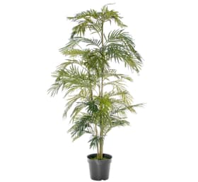 Areca palmier