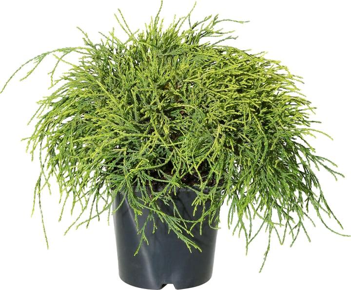 Chamaecyparis pisifera Sungold 17cm 306095600000 Bild Nr. 1