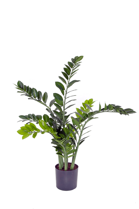 Zamioculcas zamiifolia Do it + Garden 659337200000 Bild Nr. 1