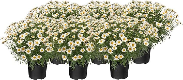 Marguerite fleur 14cm (6er Set) 650182600000 Photo no. 1