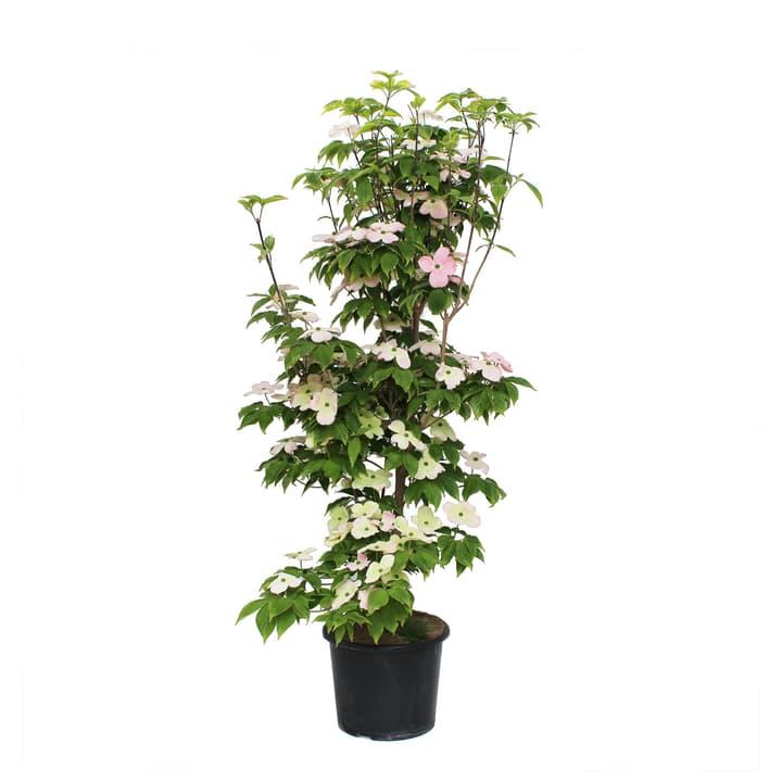 Image of Blumen-Hartriegel Cornus Kousa 7.5l Ziergehölz