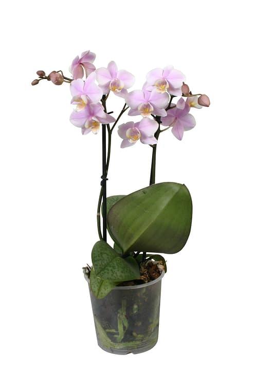 Phala multiflora Mix 2 Pousses 9cm 300172300000 Photo no. 1