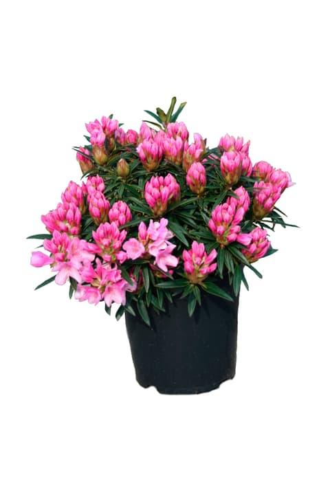 Rhododendron Graciella 5l 306103200000 Bild Nr. 1