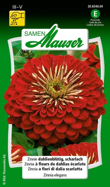 Zinnia a fiori di dalia scarlatta Semente Samen Mauser 650108402000 Contenuto 1 g (ca. 50 piante o 3 - 4 m²) N. figura 1