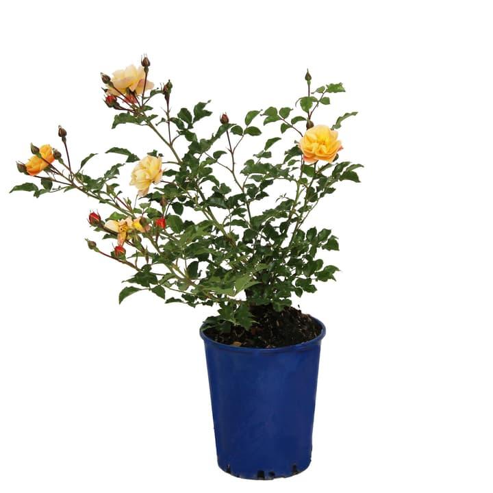 Image of Bodendeckerrose Sedana 3.5l Rose
