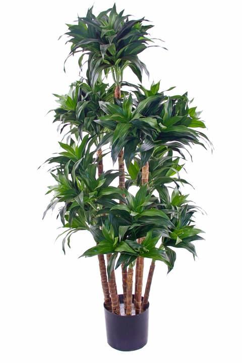 Dracaena fragrans Do it + Garden 658954300000 Bild Nr. 1