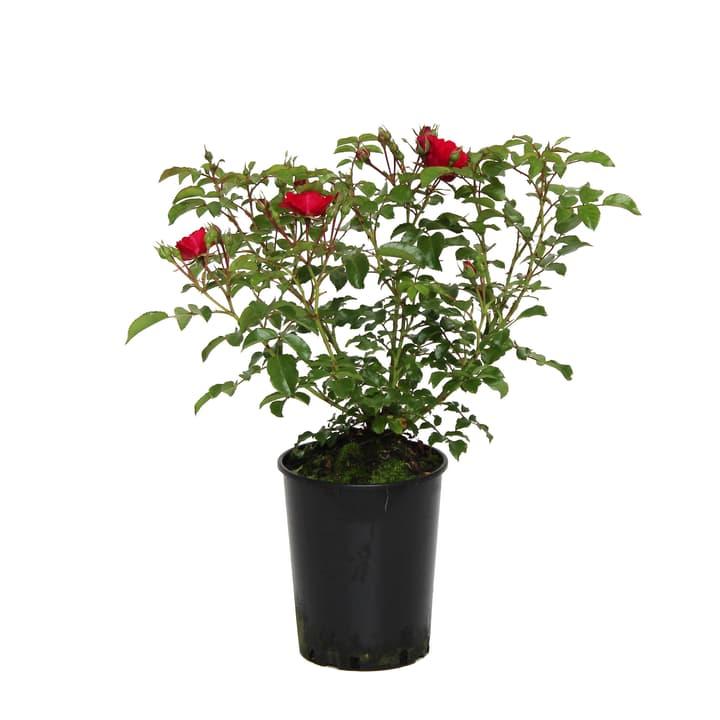 Image of Bodendeckerrose Heidefeuer 3.5l Rose