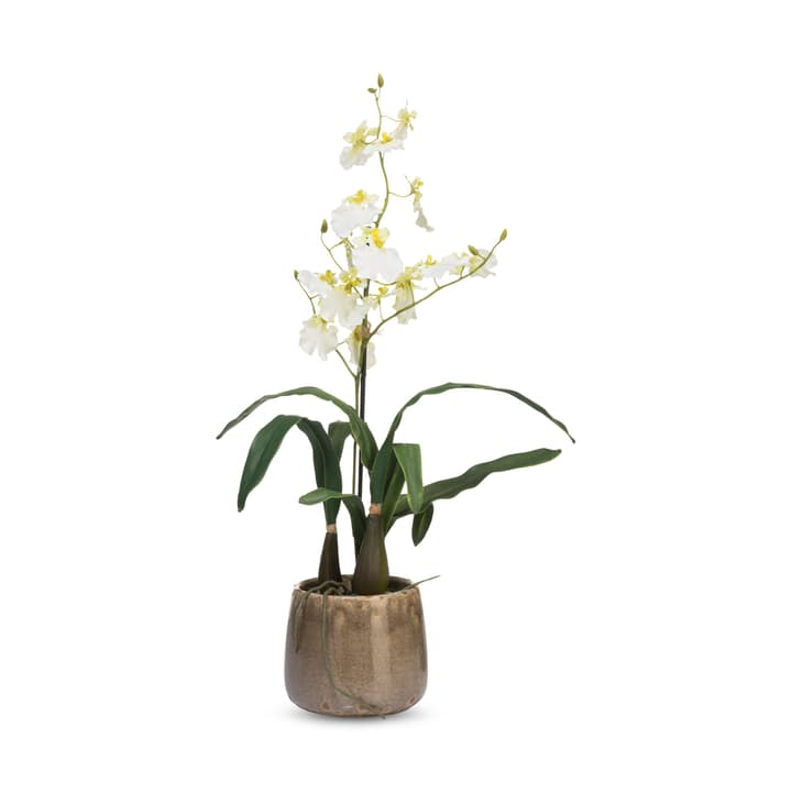 PAULINA Orchidee in Vaso 390251500000 N. figura 1