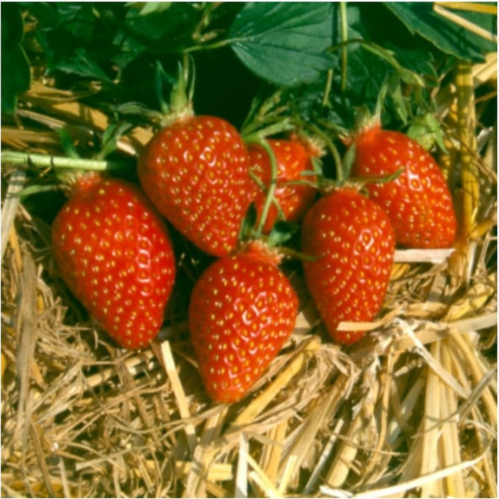 Erdbeere Gariguette 6er 308805800000 Bild Nr. 1