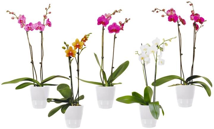 Phalaenopsis 2 Triebe 300167100000 Bild Nr. 1