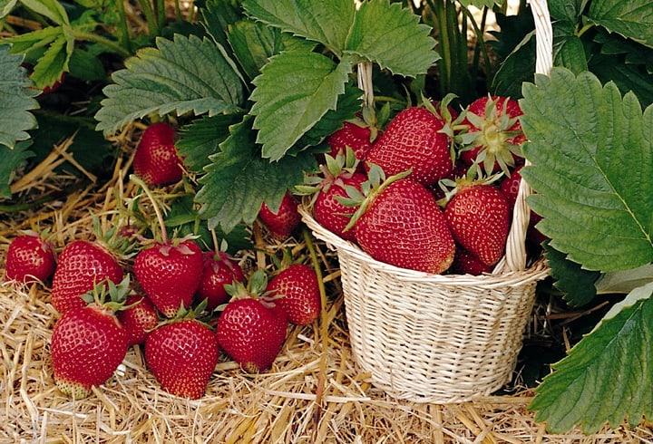 Erdbeere Thuriga 6er 308801800000 Bild Nr. 1