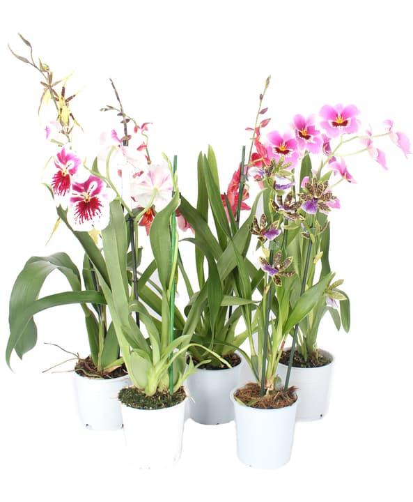 Orchidee Duftmix 300259800000 Bild Nr. 1