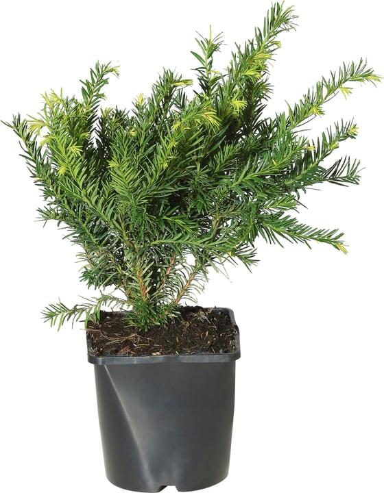 Taxus baccata Repandens 17cm 306095000000 Bild Nr. 1