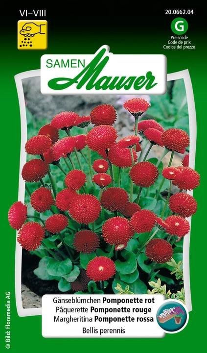 Margheritina Pomponette rossa Semente Samen Mauser 650101501000 Contenuto 0.125 g (ca. 80 piante o 4 m²) N. figura 1