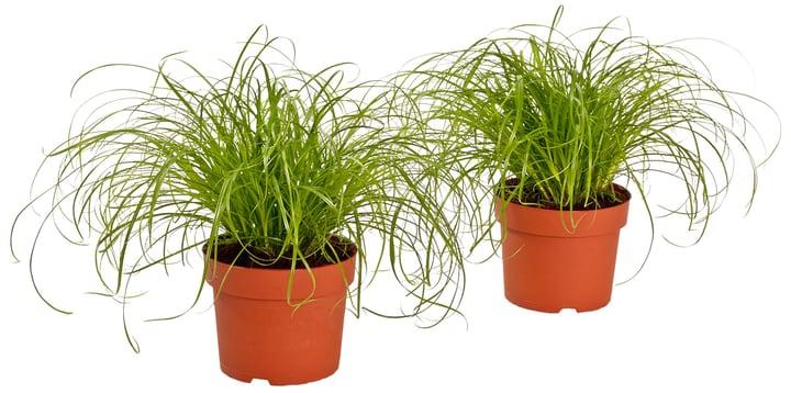 Cyperus zumula 300131400000 Bild Nr. 1