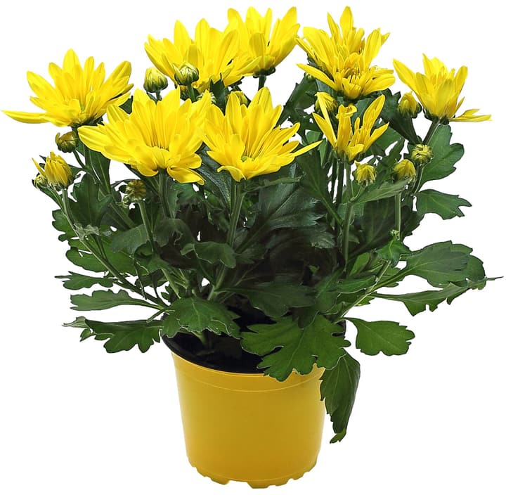 Chrysanthemen Indicum Ton in Ton 302122900000 Bild Nr. 1