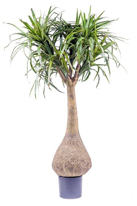 Do it garden dracaena marginata acheter chez do it garden - Entretien dracaena marginata ...