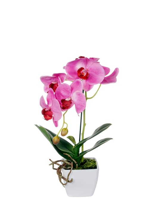 Phalaenopsis dunkellila Do it + Garden 658955600000 Bild Nr. 1