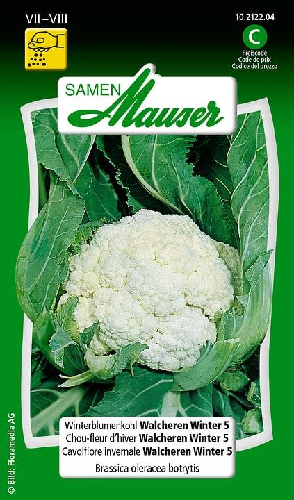 Chou-fleur d'hiver Walcheren Winter 5 Samen Mauser 650116001000 Contenu 0.5 g (env. 100 plantes ou 30 m²) Photo no. 1