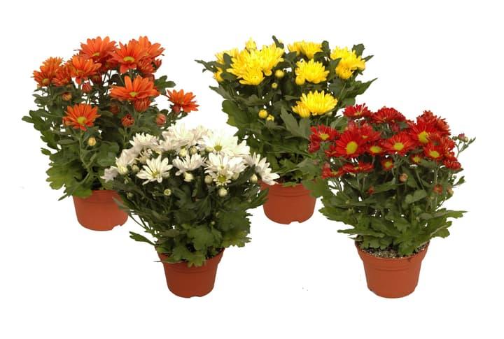 Chrysanthemen indicum 12cm 300200000000 Bild Nr. 1