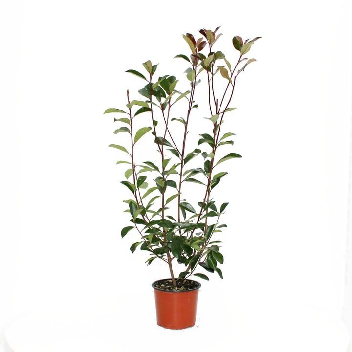 Photinia Red Robin 19cm 650141200000 Bild Nr. 1