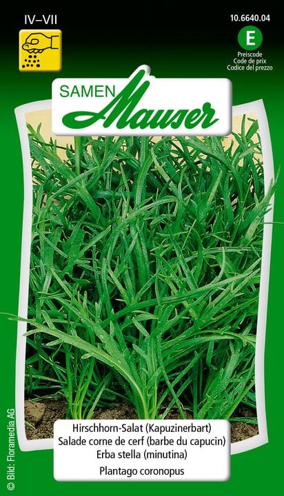 Salade corne de cerf (barbe di capucin) Samen Mauser 650119301000 Contenu 2 g (env. 500 plantes ou 10 m Photo no. 1
