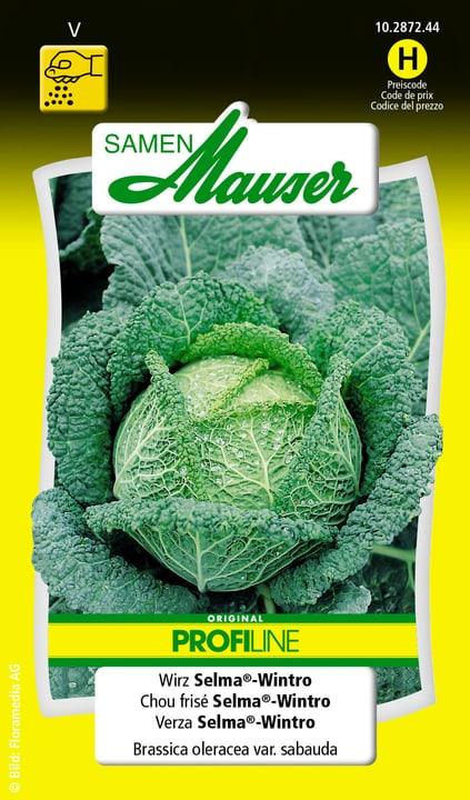 Chou frisè Selma®-Wintro Semence Samen Mauser 650116301000 Contenu 0.25 g (env. 60 plantes ou 8 -10 m²) Photo no. 1