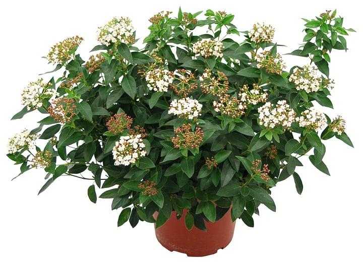 Viburnum tinus 13cm 306084100000 Bild Nr. 1