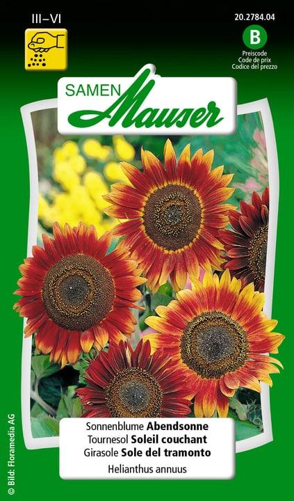 Sonnenblume Abendsonne Samen Mauser 650104101000 Inhalt 2.5 g (ca. 40 - 60 Pflanzen oder 6 m²) Bild Nr. 1