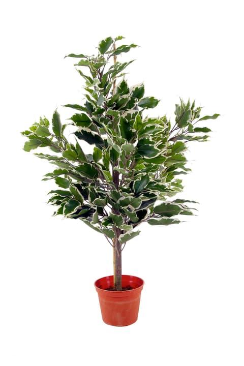 Ficus exotica Stamm panachiert Do it + Garden 659337800000 Bild Nr. 1