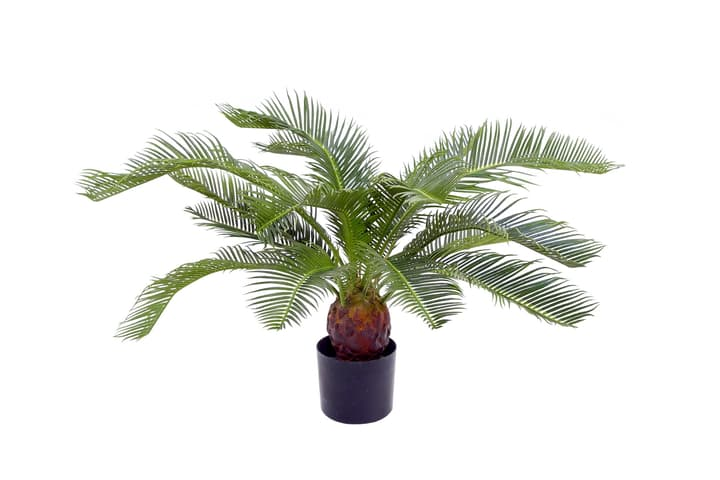 Cycas Do it + Garden 659335200000 Bild Nr. 1