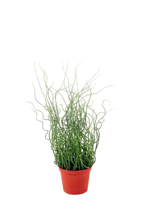 Plante artificielle juncus effusus Do it + Garden 659331400000 N. figura 1