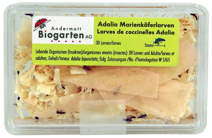 Image of Andermatt Biogarten Adalia Marienkäferlarven gegen Blattläuse, 30 Larven Nützlinge