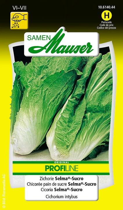 Chicorée pain de sucre Selma®-Sucro Samen Mauser 650116405000 Contenu 1.5 g (env. 300 plantes ou 6 - 8 m²) Photo no. 1