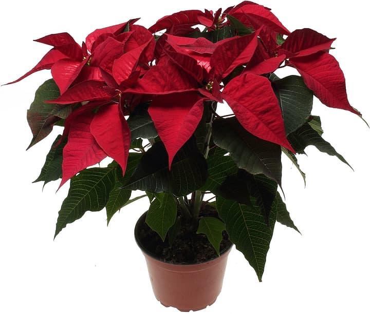 Weihnachtsstern 13cm 300210300000 Bild Nr. 1
