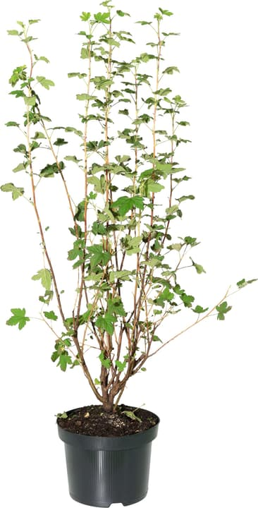Ribes Sanguineum King Edward 5l 306022000000 Bild Nr. 1