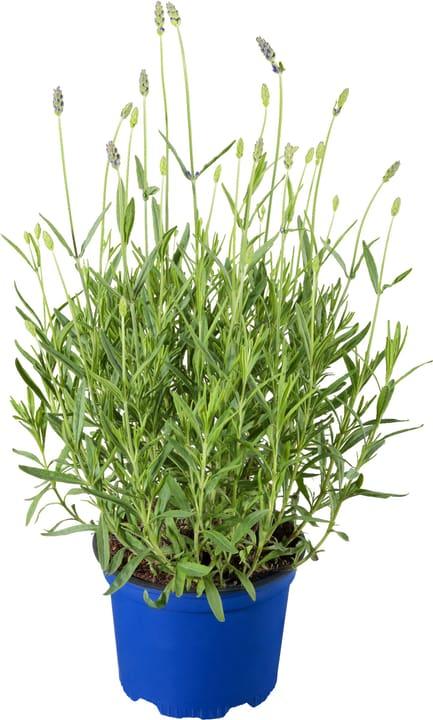 Bio Lavendel 307012700000