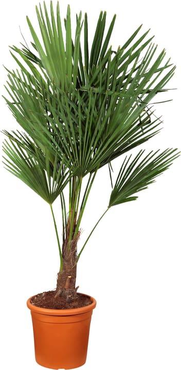 Trachycarpus 304006600000 Topfgrösse 28 cm Bild Nr. 1