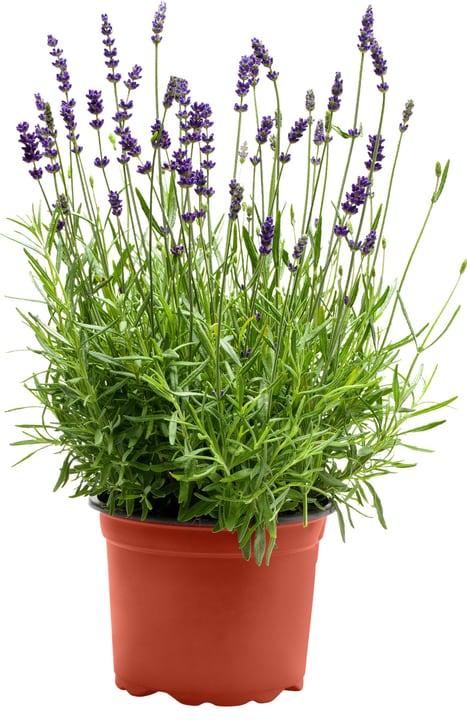 lavandula angustifolia hidcote blue kaufen bei do it garden. Black Bedroom Furniture Sets. Home Design Ideas