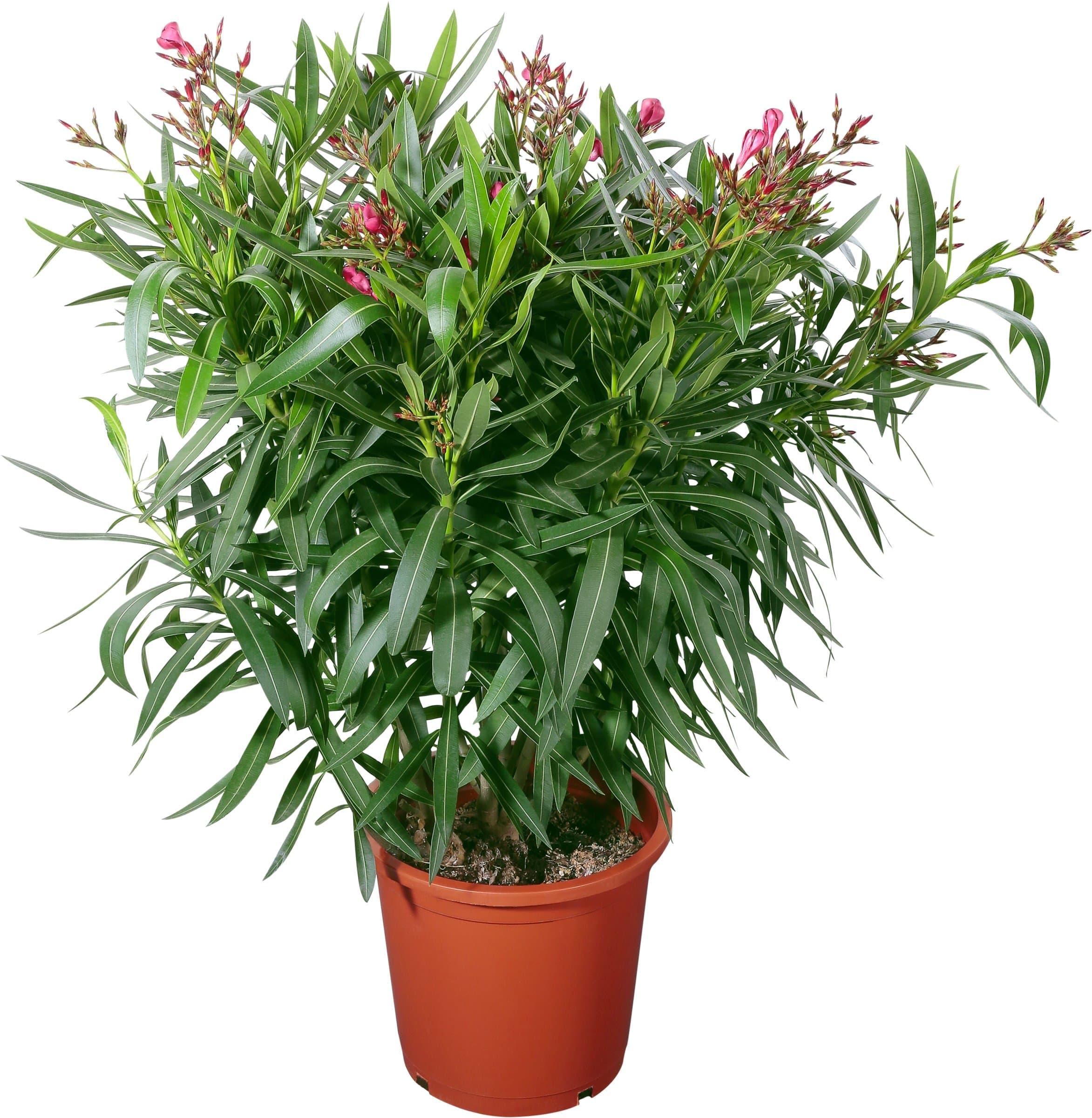 oleander migros. Black Bedroom Furniture Sets. Home Design Ideas