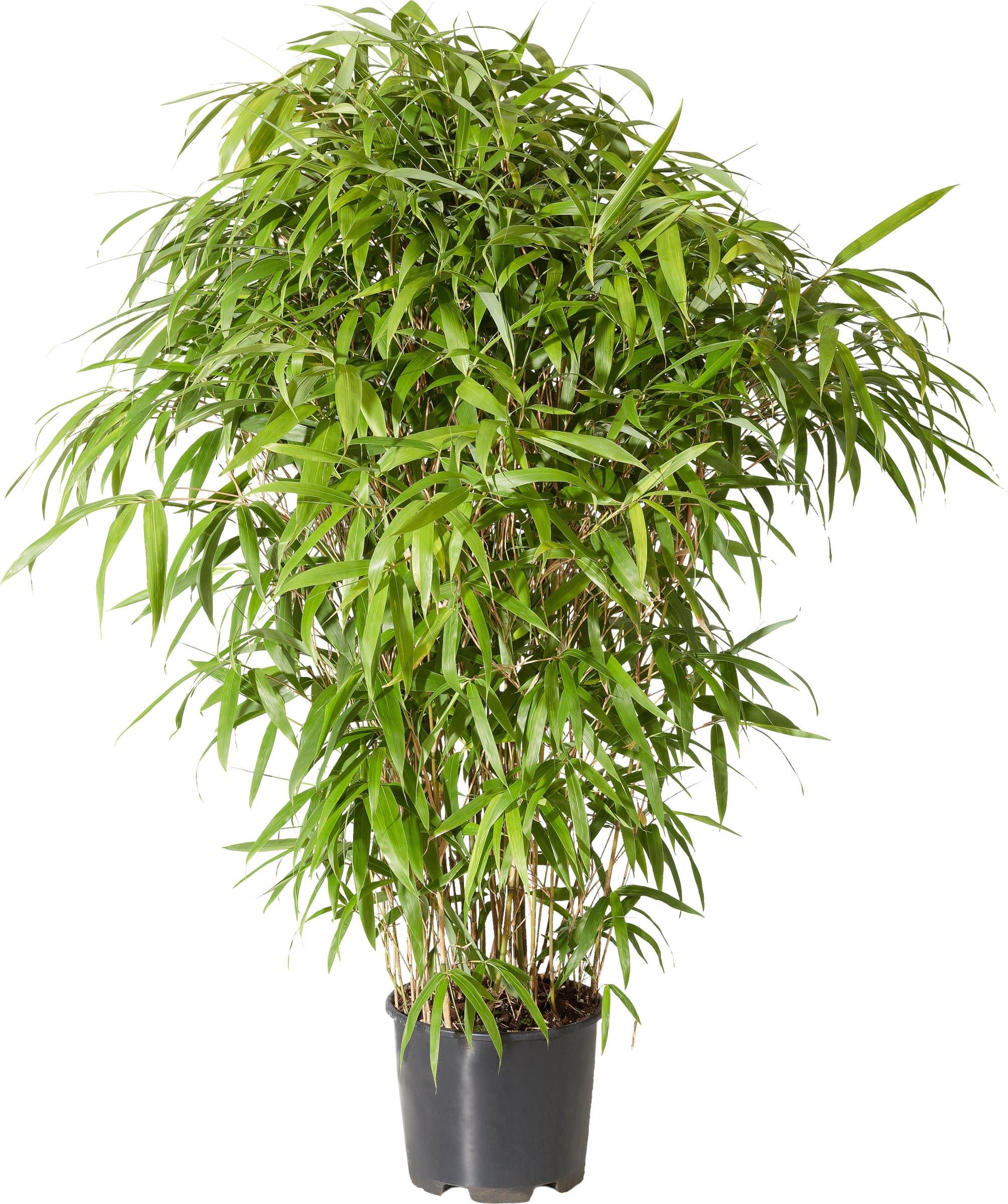bambus pseudosasa japonica 10l migros