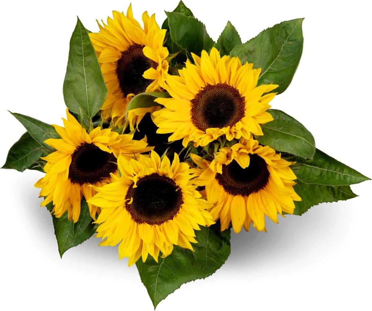 M-Classic Sonnenblumen, Bund 5 Stück
