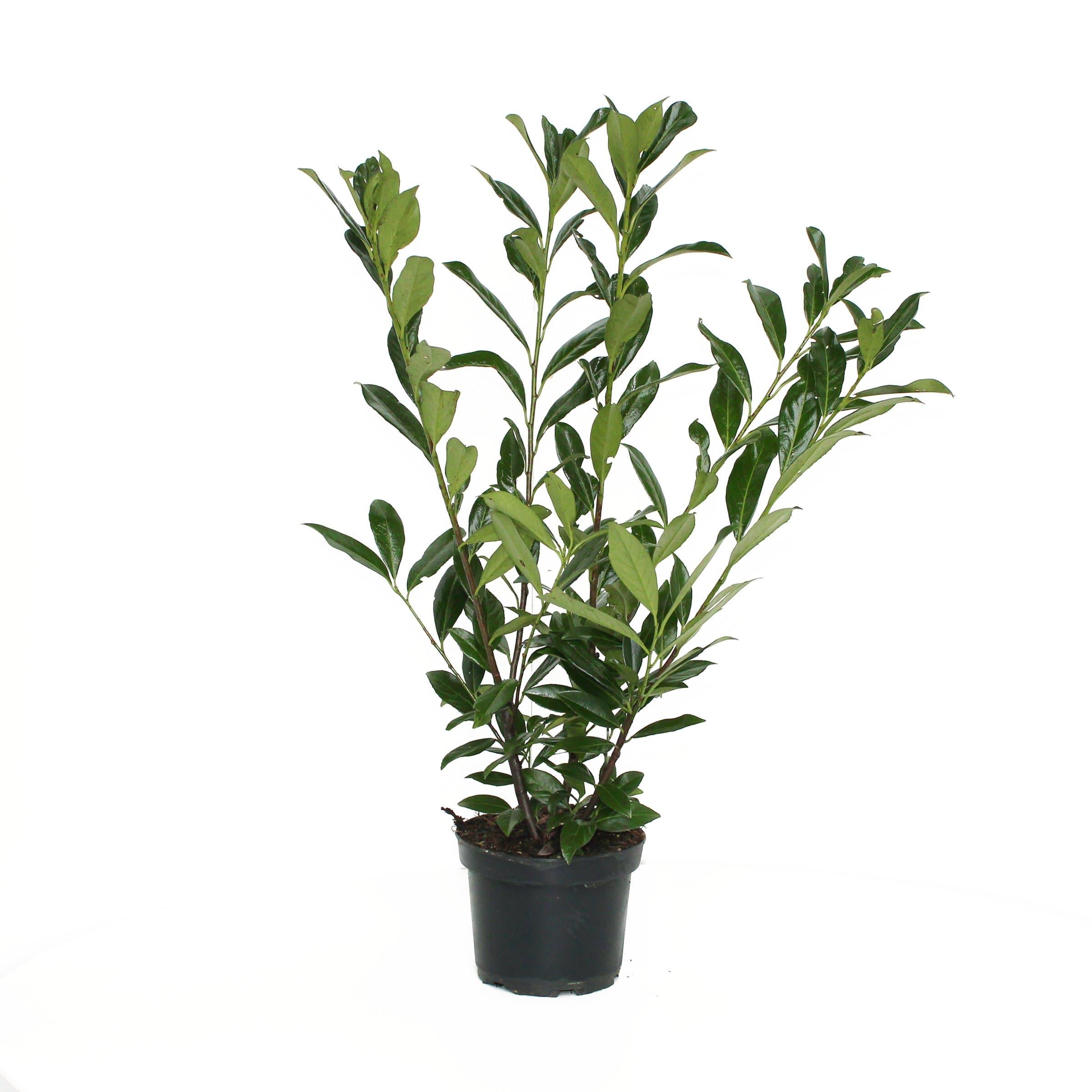 prunus laurocerasus caucasica h he 60 80cm migros. Black Bedroom Furniture Sets. Home Design Ideas